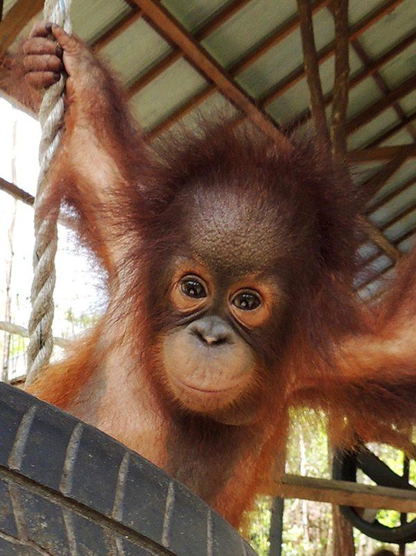 Foster Trudeau animal adoption Orangutan Foundation International