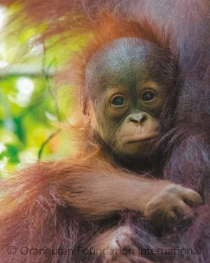 Protect & Patrol Tanjung Puting National Park Orangutan Foundation International