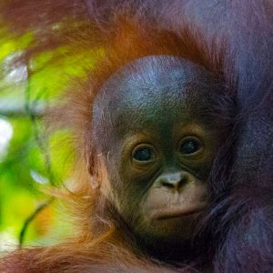 Protect and Patrol Tanjung Puting National Park Orangutan Foundation International