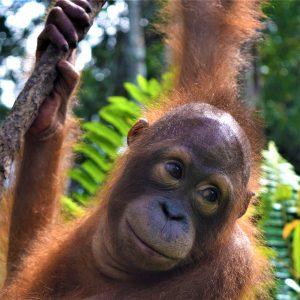 Orangutan of the Month Dodot Orangutan Foundation International
