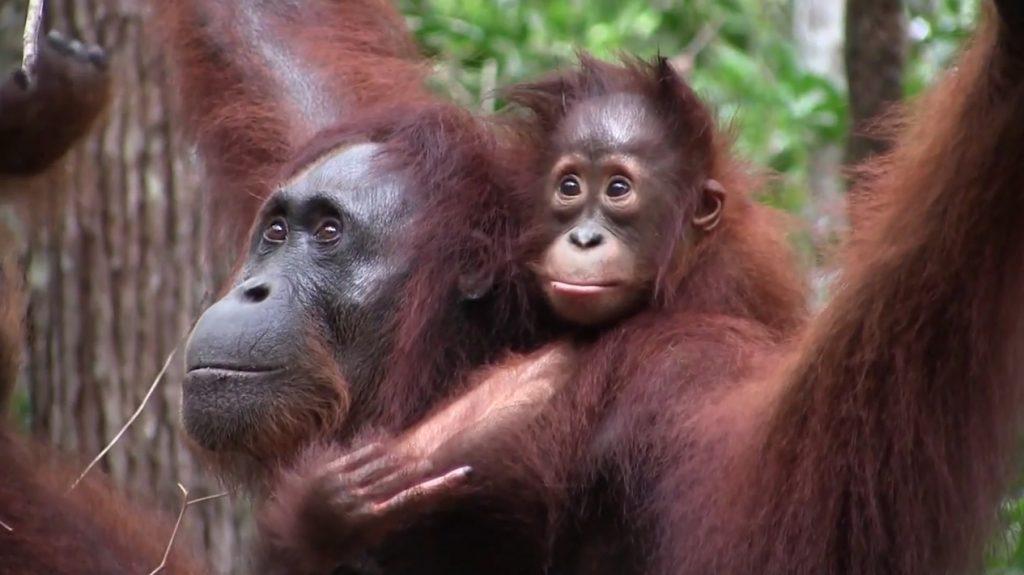 Orangutan Foundation International Eco Tour Orangutans Rainforest Borneo