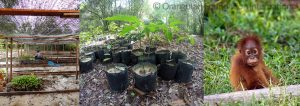 Orangutan Foundation International Replanting Forest Seed Sapling Appeal