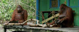 Spy in the Wild Siswi uses saw Orangutan Foundation International