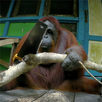 Spy in the Wild Siswi using saw Orangutan Foundation International