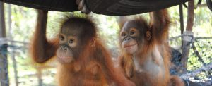 Orangutan Foundation International Orangutan Friends photo essay