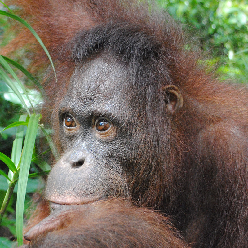 Orangutan Foundation International Orangutan of the Month Berman