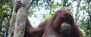 Orangutan of the Month Patricia Orangutan Foundation International