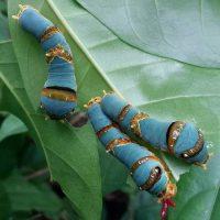 Insects of the Forest Caterpillars Orangutan Foundation International Ibu Evi