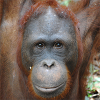 Orangutan of the Month Voyce Orangutan Foundation International Borneo Indonesia Orangutan Conservation
