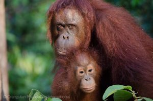 Orangutan Foundation International mission statment