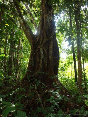 Orangutan Legacy Forest Land Purchasing Program Orangutan Foundation International