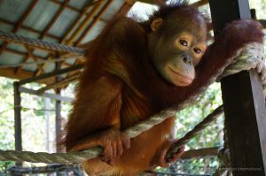 Orangutan Care Center and Quarantine Orangutan Foundation International