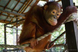 Orangutan Care Center and Quarantine Orangutan Foundation International