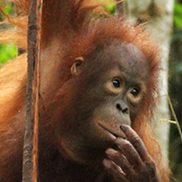 Orangutan Foundation International Orangutan of the Month Andrena