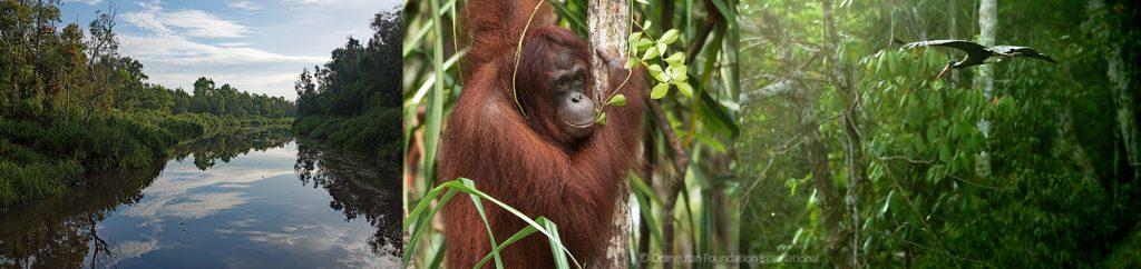 Orangutan Legacy Forest Guardians of the Forest Orangutan Foundation International Fall Emergency Appeal Land Purchase