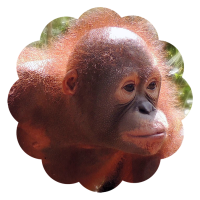 Bayat foster orangutan Orangutan Foundation International adopt animal