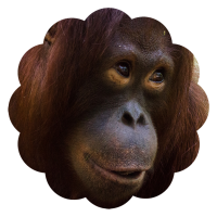 Krista Orangutan Foundation International foster program adopt
