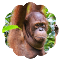Mr Bernie Orangutan Foundation International foster program adopt