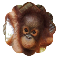 Trudeau foster orangutan Orangutan Foundation International adopt animal