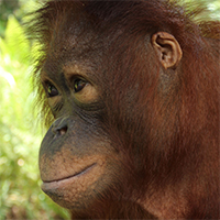 Orangutan Care Center donate Orangutan Foundation International