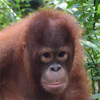 Orangutan of the Month Santa Claus Orangutan Foundation International