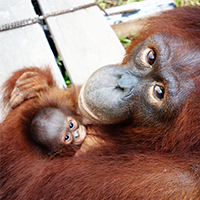 Orangutan Foundation International Protect Patrol rainforest Indonesia palm oil