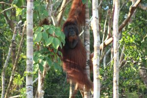Montana flanged adult male cheekpadder orangutan Orangutan Foundation International