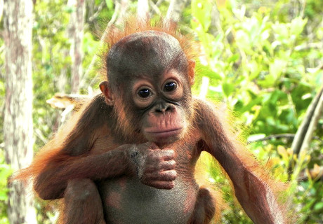 orangutan-baby-looking