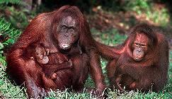 Ronnie the orangutan with offspring