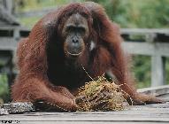 Tom the orangutan