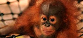 Foster an orangutan