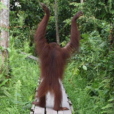 Tunas the Orangutan