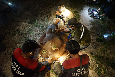 "Photo of orangutan  ""Ash"" rescued from fire near Pangkalan Bun"