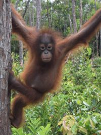 Proudfoot the orangutan