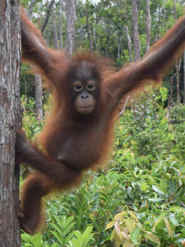 Proudfoot the orangutan