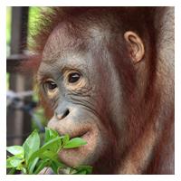 Proudfoot foster orangutan Orangutan Foundation International adopt animal