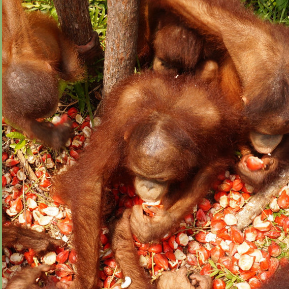 A $50 Gift can buy 200 Pounds of Rambutans Fruit for Orangutans