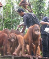 Juvenile orangutan orphans being given milk at feeding platform in OCCQ forest.