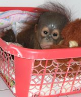 Infant orangutan orphan in sleeping basket at OCCQ