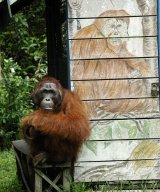 "Adult male orangutan Uranus sits in front of ""typing house"" at Camp Leakey"