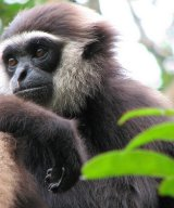 Gibbon born at Camp Leakey of released wildborn ex-captive gibbon mother and wild father