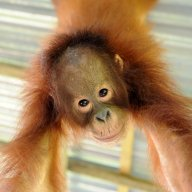 Juvenile orangutan orphan playing on jungle gym at OCCQ