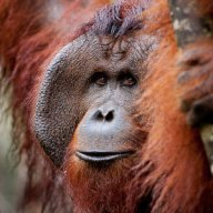 Tom the Adult Male Orangutan