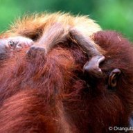 Orangutan Mother