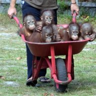 "Taking infant orangutan orphans to the forest for ""forest school at OCCQ"""