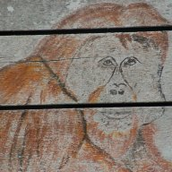 "Drawing of adult male orangutan on exterior of ""typing house"" Camp Leakey"