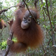 Orangutan infant Bayat climbing in forest near OCCQ