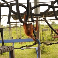 Orangutan orphan playing on jungle gym at OCCQ