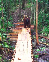 Wild adult male April strolls down the partially completed bridge – he was so eager to use the bridge, he didn't even wait for it to be finished!
