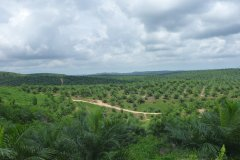 Palm Oil Plantation in the Lamandau Regency 2